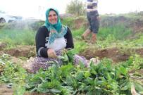 Aydın'da Yağışlar Ispanak Üreticisinin Yüzünü Güldürdü
