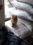 GÜBRE - Vitrinle Çuvallar Arasında Sıkışan Kedi Günler Sonra Fark Edildi
