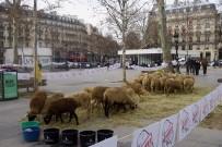 FRANSA - Paris'in Ortasında Koyunlu Gösteri