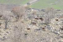 AKÇALı - Yaban Keçilerinin Sayımı Tamamlandı