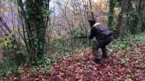 Ordu'da Yaban Domuzu Sürek Avı