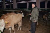 MEHMET AYDıN - Muş'ta 62 Genç Çiftçiye 310 Büyükbaş Hayvan Dağıtıldı