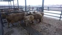 HAYVAN PAZARI - Canlı Hayvan Pazarı Borsası Bölgede Ekonomiyi Canlandırdı