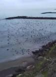 ÇAVUŞLU - Sahile Vuran Hamsi Sürüsünü Martılar Ve Karabataklar İşte Böyle Avladı