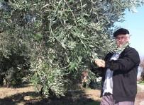 ZEYTİN AĞACI - Zeytin Ağaçlarını Afrin Şehitlerinin Ailelerine Hediye Etti