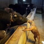 Artvin'de Boğa İle Köpeğin Dostluğu Görenleri Şaşırtıyor