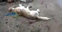 Kırıkkale'de Köpeklerin Zehirli İğne İle Katledildiği İddiası