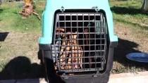 FETHIYE BELEDIYESI - Muğla'da Sokak Köpeklerinin Kamyonla Dağa Bırakıldığı İddiası