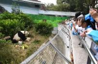 HAYVANAT BAHÇESİ - Panda'ya Doğum Günü Partisi
