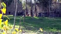 İZMIR DOĞAL YAŞAM PARKı - Dişi Aslan 'Selma' Yeni Evine Yerleşti