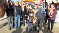 KARAAĞAÇ - Yılın Son Deve Güreşi Gömeç'te Yapıldı