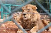 HAYVANAT BAHÇESİ - Kafesinden Kaçan Aslan Çalışanı Öldürdü