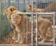 HAYVANAT BAHÇESİ - Kafesinden Kaçan Aslan Hayvanat Bahçesi Çalışanını Öldürdü