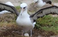 ALBATROS - Dünyannın En Yaşlı Albatrosu 68 Yaşında Ve Hala Her Yıl Bir Yavru Yetiştiriyor