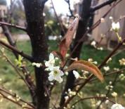 ABDULLAH YıLMAZ - Kış Ortasında Çiçek Açtı