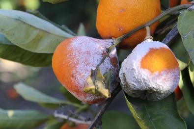 Satsuma mandalinasında yüzde 50 zayiat