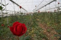 ALTıNBAŞAK - Samsun'da Yılda 368 Bin Gül Üretiliyor