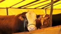 KARANTINA - Bilecik'te Bir Büyükbaş Hayvanda Şap Hastalığı Çıktı