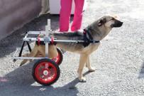 BEYLIKDÜZÜ BELEDIYESI - Engelli Köpekler Yürüteçle Hayata Tutundu