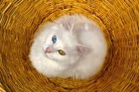 SENKRONIZASYON - Van Kedileri Yılda İki Kez Yavrulayabiliyor