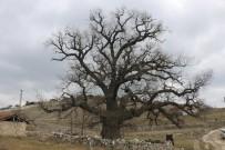 KARBON - 700 Yaşındaki Meşe Ağacı Bu Yıl Da Yeşerecek