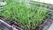 KARAMANOĞLU MEHMETBEY ÜNIVERSITESI - Buğdayın Yetişme Süresini 60 Güne İndirdiler