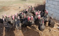 YıLBAŞı - Bitlis'in İlk Hindi Çiftliği Kuruldu