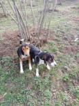 YABAN DOMUZU - Bir Haftadır Kayıp Olan Köpekler Bulundu