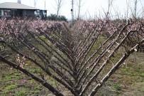 AŞIRI YAĞIŞ - Nektarin Kış Ortasında Çiçek Açtı Görenler Şaştı