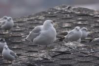 İZLANDA - Zonguldak'ın 306. Kuş Türü Kaydedildi