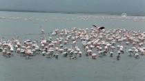 BASRA KÖRFEZI - Gala Gölü'nün Pembe Tüylü Misafirleri Göçü Bekliyor