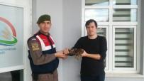 TANOBA - Avcıların Bulduğu Yaralı Doğan Jandarmaya Teslim Edildi