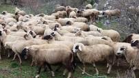 SÜRÜ YÖNETİMİ - İzmit Belediyesi'nden Koyun Yetiştiriciliği Eğitimi