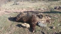 YABAN DOMUZU - Karaman'da Yaban Domuzu Sürek Avı Düzenlendi