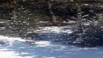 Ardahan'da Domuz Sürüsü Görüntülendi