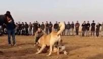 HAYVAN HAKLARı - Fıstık Bahçesinde Kanlı Köpek Dövüşü
