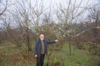 ERİK AĞACI - Erik Ağacı Şubat Ayının Ortasında Çiçek Açtı