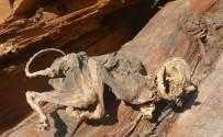 DINOZOR - Esrarengiz Canlı Kalıntısı 'Kedi' Çıktı