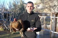 İSMAİL ARSLAN - Bu Tavukların Tanesi 2 Bin, Yumurtası 40 Lira
