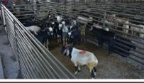 HAYVAN PAZARI - Aslanapa'da Hayvan Pazarının İhalesi Yapıldı