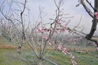 TARıM - Bursa'da Şeftaliler Çiçek Açtı
