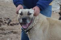 ÇOBAN KÖPEĞİ - Köpeğin Hırsızlara Karşı Amansız Mücadelesi