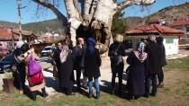 TACETTIN ÖZKARAMAN - Taraklı'daki 7 Asırlık Çınar Ağacına Yoğun İlgi