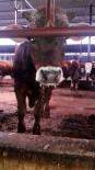 TARıM - Yalova'da Şap Salgını