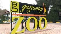 GAZİANTEP HAYVANAT BAHÇESİ - Cumhurbaşkanına Hediye Edilen Aslanlar Gaziantep'i Sevdi