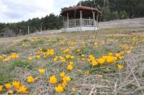 EMEKLİ ÖĞRETMEN - Gölcük Yaylası'nda Baharın Müjdecisi Çiğdemler Bu Yıl Erken Açtı