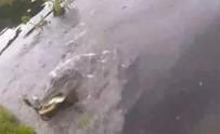 TİMSAH - Tuttuğu Balığı Timsaha Kaptırdı.