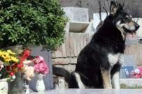 ÇOBAN KÖPEĞİ - Arjantin'de Vefalı Köpek, 11 Yıl Boyunca Sahibinin Mezarı Başında Bekledi