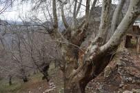 ASIRLIK ÇINAR - 500 Yıllık Çınar Ağacı Yıllara Meydan Okuyor