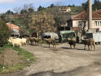 İSMAIL KAYA - 87 Hayvan Telef Oldu Açıklaması 43 Köy Karantina Altında